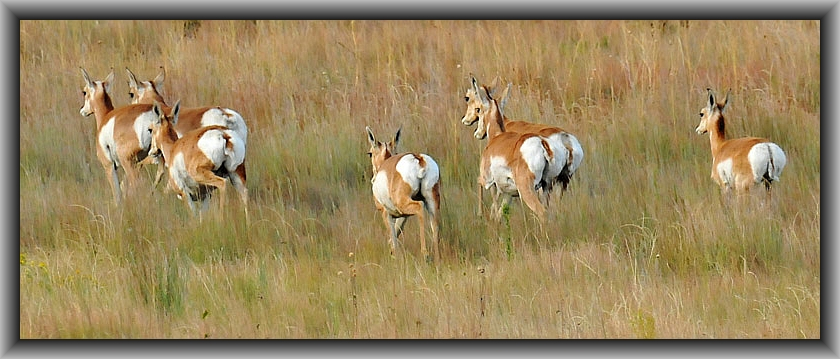 nunn_antelope_wide_borderccb1